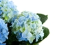 Hydrangeas symbolize heartfelt sentiment.