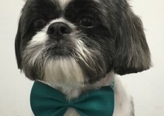 Iron Pet Mobile Grooming & Salon - Hollywood, FL. Shih Tzu Round Face