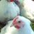 Renaissance Chicken