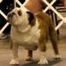 English bulldog for stud service