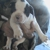Old Country Kennel Ke-Stern American Bulldogs