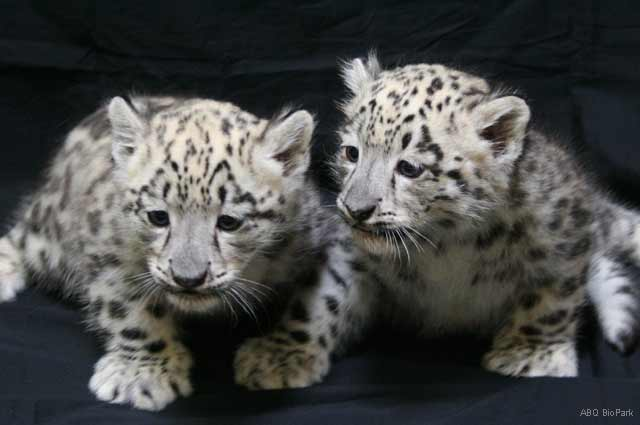Zoo Babies - African Snow Leopards