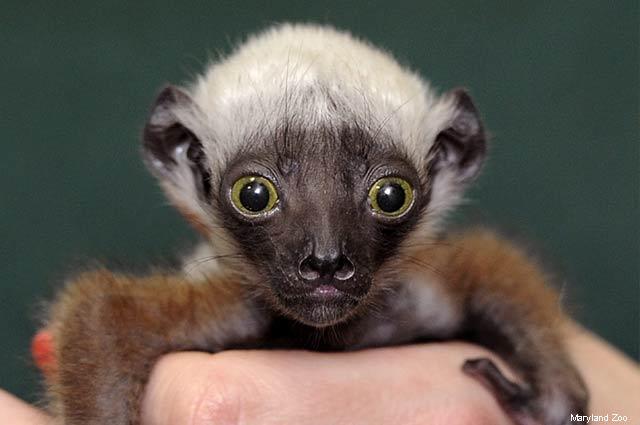 Zoo Babies - Coquerel Sifaka