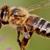 Bee Removal - Santa Barbara Bee Company