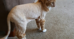 Lulu's Pet Grooming - Reno, NV. Carrot the cats lion cut