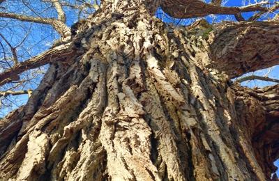 Ahlum & Arbor Tree Preservation - Columbus, OH. Big cotton wood!!