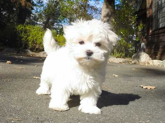 Trained Dogs For Sale Bay Area