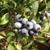 Carter Blueberry Farm