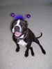 Does she look like a big, dangerous Pit Bull?  #actlikeapit, #whatpitsactlike
