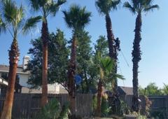 Adolfo Tree Service - Houston, TX. Houston Palm trimming (Adolfo's Tree Service)