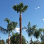 TDR Tree Services - Mesa, AZ. palm tree trimming in Mesa Arizona