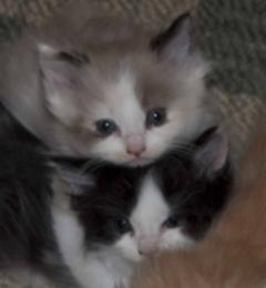RagaMuffin Cat World Cattery - Montgomery, TX