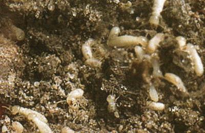 Spivey Termite & Pest Control, Inc. - Norfolk, VA