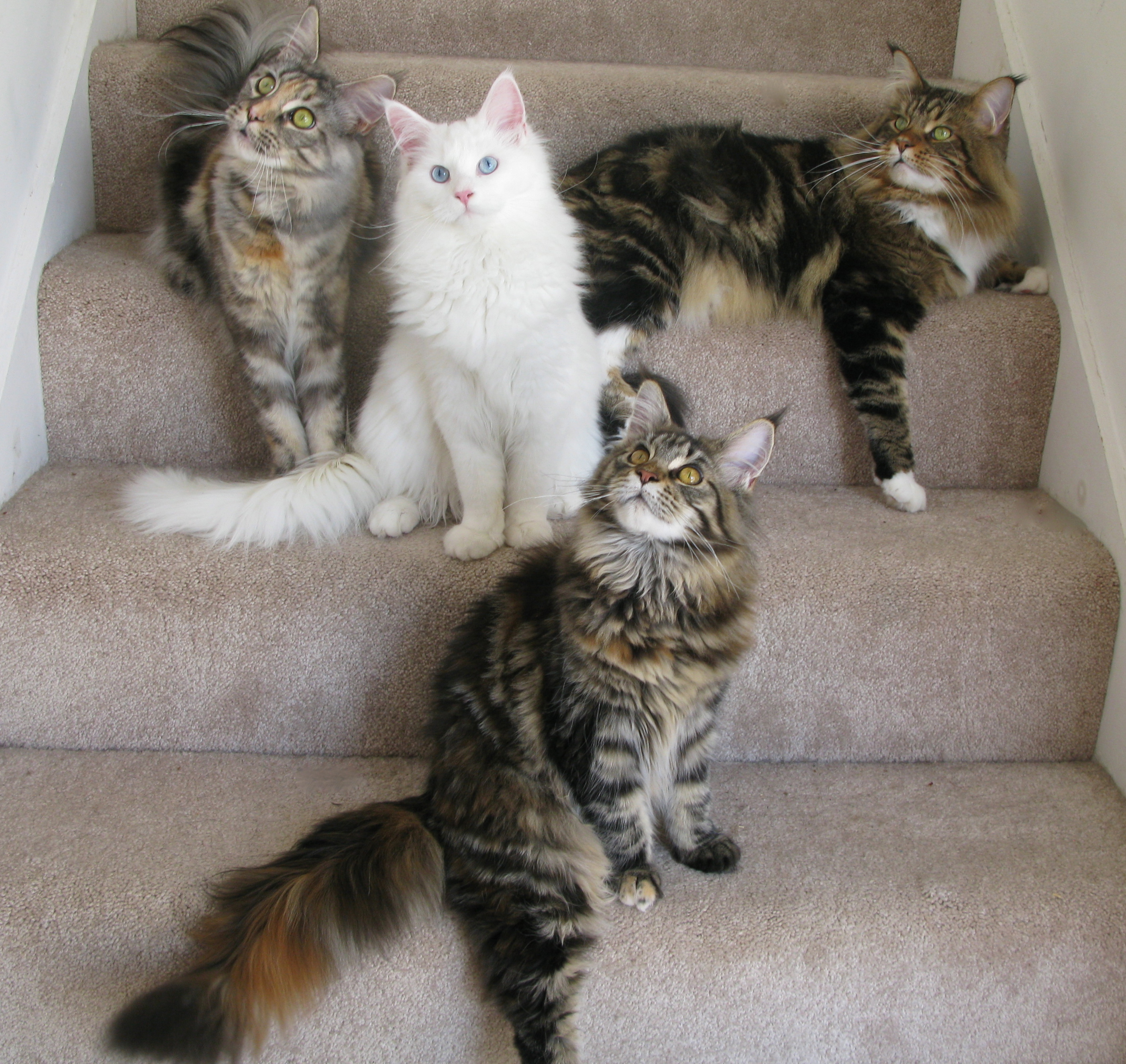 Cold Creek Maine Coon Cats & Kittens 340 Knight Rd, Gettysburg, PA