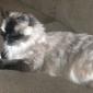 Rescue Cat & Dog Rescue Org - Phoenix, AZ. Hi.  I am CeeCee! I am a long haired snowshoe ragdoll.