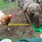 Macopin Farm - Eggs, Wool/Fiber, Rare Breeds & more... - West Milford, NJ