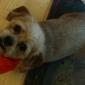 Pet Corral - Layton, UT. Schweenie Shi Tzu/dachshund