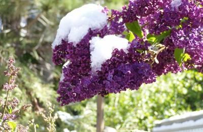 Villager Nursery & Landscape - Truckee, CA. Lilacs @ Villager in May