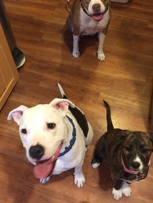 These are THREE pit bulls.  Together.  And they were just PLAYING!!!  (Gasp!). I must be a better trainer #actlikeapit, #whatpitsactlike
