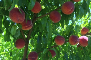 Best peaches around!