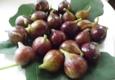 My Italian Fig Tree - Milford, CT