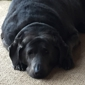 Country Veterinary Clinic - Rubicon, WI. Thunder, our charcoal grey silver lab.