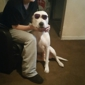 Lost Your Pet.Com - Saint Louis, MO. His name is Kane he's been missing for 5 hours he is 4 years old playful he's mixed pit all white