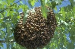 Call Allcare at 731-636-0171 or 270-627-1120 To cut bee trees and save the bees, we catch swarms and sell honey.