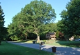 Berra Tree Experts - Burtonsville, MD. before 3 large oak trees