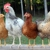 Tucson Organic Chicken Feed For Sale At Wholesale Prices