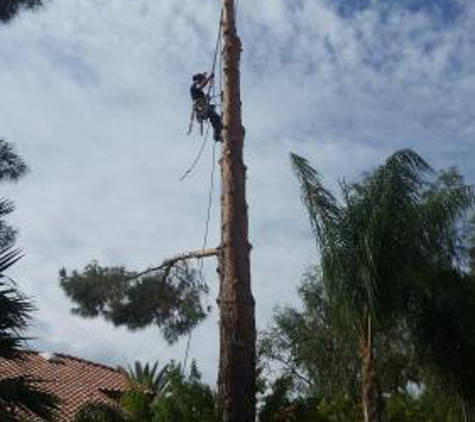 TDR Tree Services - Mesa, AZ. Large pine tree removal in Mesa AZ