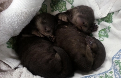 Useless Bay Animal Clinic - Freeland, WA. A little bit of sweetness in the office today, baby river otters! It was a quick visit as they headed to a rehab center to be rehabilitated
