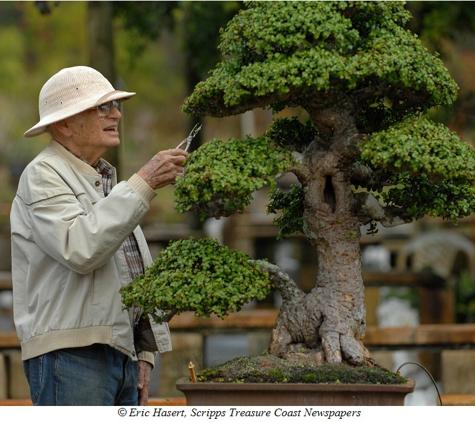 Heathcote Botanical Gardens - Fort Pierce, FL. Jim Smith pruning his signature dwarf jade bonsai now located at Heathcote Botanical Gardens