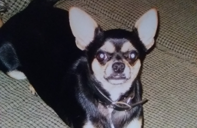 Humane Society - Charlotte, NC. looking for my lost pet shasha   7049197711 or 7043341800
