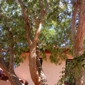 Axe Man Professional Arborist - Las Cruces, NM. This tree was improperly trimmed. Now its beautifull