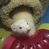 Angel Ferret Shelter Services