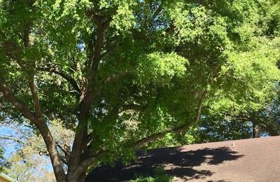 Shaw Tree Service - Jacksonville, FL. Front oak tree
