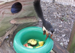 "Fallin Pines Critter Rescue - Christmas, FL. ""Wrigley"", Malaysian Squirrel."